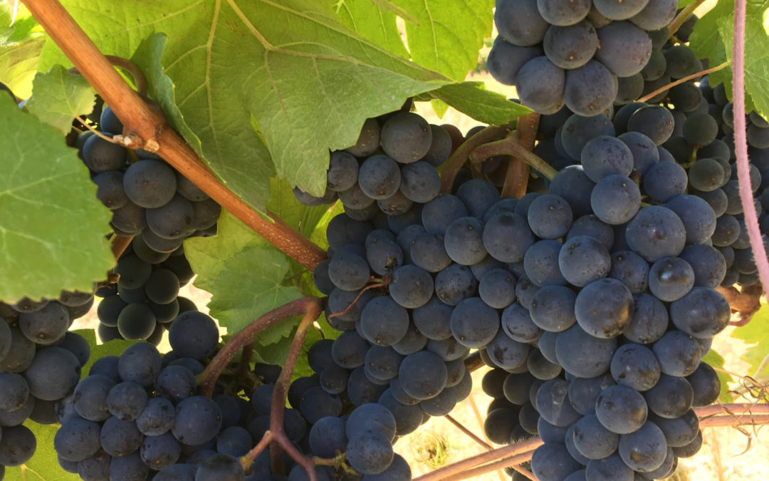 Waiting and Watching: Helvetia Vineyards Report 9/27/17